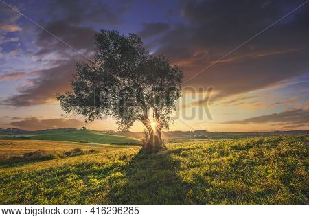 Olive Tree At Sunset. Maremma Countryside Landscape, Rolling Hills And Green Fields In Spring Season