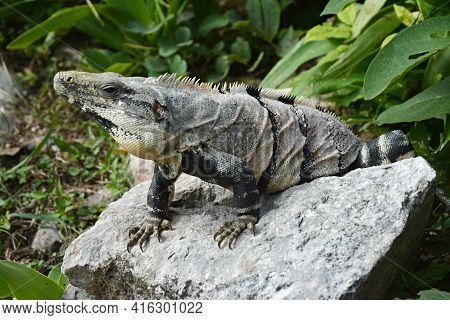 Iguana Sits On The Cliff Near Mayan Archeological Site Uxmal. Mexican Green Iguana In Tropical Green