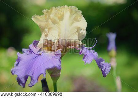 Iris Germanica. Closeup Of Flower Bearded Iris