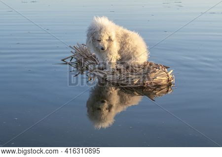 Fluffy White Dog On Primitive Raft Looks Down At His Reflection On Surface Of Water
