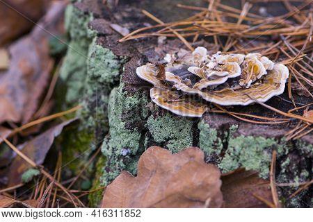 Mushroom Grows On An Old Stump In The Autumn Forest. Mushroom Parasite Tinder Fungus Flat Ganoderma