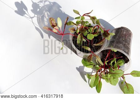 Rainbow Swiss Chard Sprouts In Plastic Pots On White Background. Beautiful Colored Sprouts With Red
