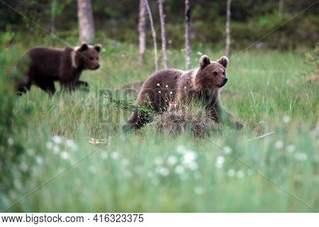 The Brown Bear (ursus Arctos) Bear Cubs In The Forest. Two Large Bear Cubs In A Dense Scandinavian T