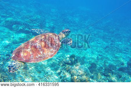 Sea Turtle Swimming In Blue Water. Cute Sea Turtle In Blue Water Of Tropical Sea. Green Turtle Under