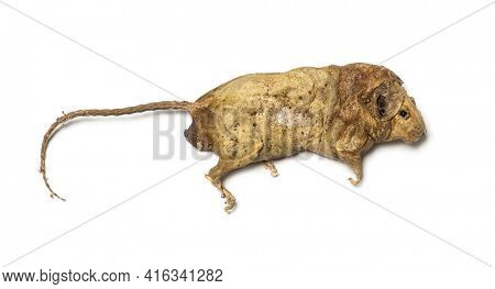 Dead rodent, Rat in state of decomposition, isolated. Pest animal
