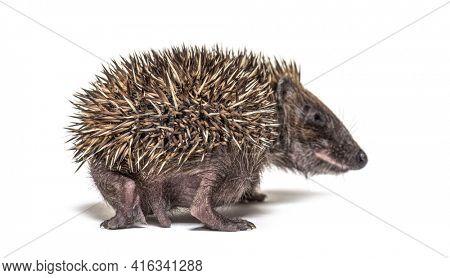 Back view of a Young European hedgehog walking away