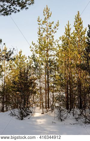 Vertical Photo Of Young Pine Trees In Snow. Small Pine Trees At Bright Sunny Winter Day. Baltic Fore