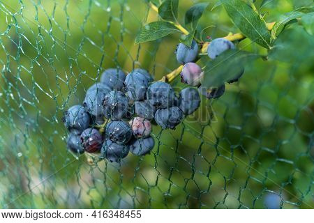 Ripe Blueberries At The Shrub Under A Net For Protection Against Birds.
