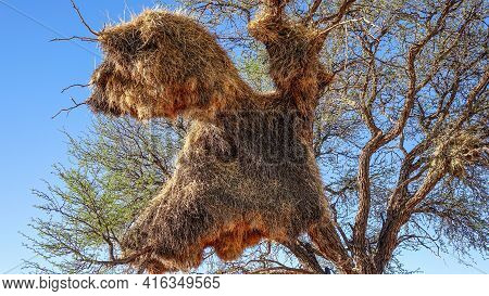 Community Nest Of The Weaver Bird (ploceidae) On A Camel Thorn Tree (vachellia Erioloba) In Namibia,