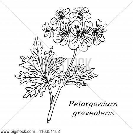 Geranium (pelargonium Graveolens), Flowering Branch Of A Plant With Leaves, Black And White Vector I