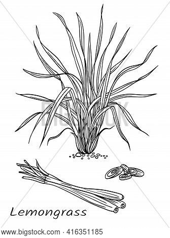 Lemongrass (cymbopogon), Plant And Raw Materials, Black And White Vector Illustration. Used In Cooki