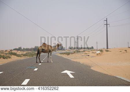 Dubai, United Arab Emirates - Jun 16, 2019: Wild Dromedary Or Adult Arabian Camel Crossing The Road