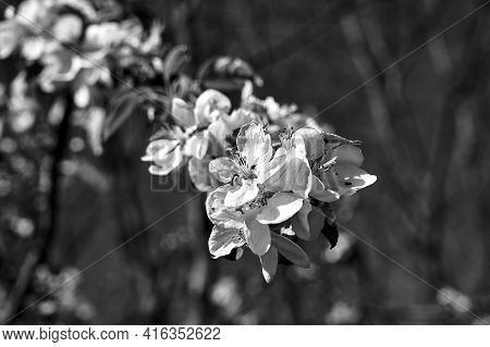 Blooming Fruit Tree Flowers On A Blue Sky  Background, Monochrome