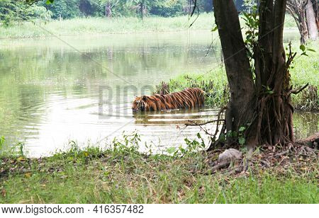 Royal Tiger., Photos Of Tigers In Various Actions., Wild Tiger In Nature Habitat., Animal In Green F