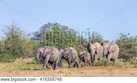 Small Group Of African Bush Elephants Walking In Savanah In Kruger National Park, South Africa ; Spe