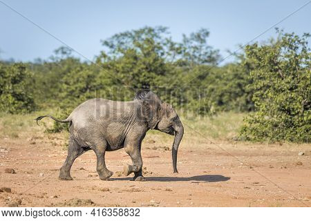 Young African Bush Elephant  Running In Savanah In Kruger National Park, South Africa ; Specie Loxod