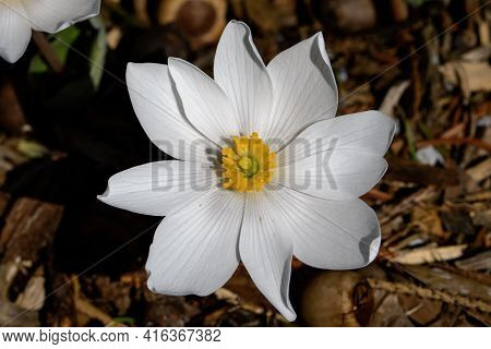 Blood Root Blooming In The Early Morning.  It Is A Springtime Perennial, Herbaceous Flowering Plant