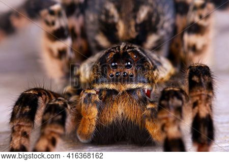 Macro Photo Shot  Of Tarantula Spider