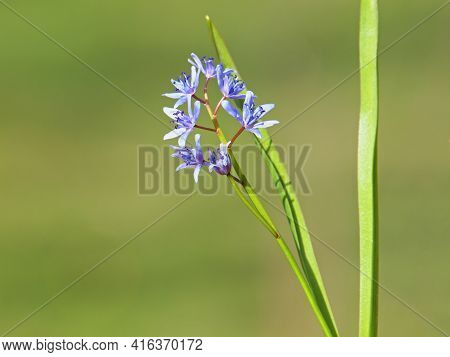 Blue Flower Of Alpine Squill Or Two-leaf Squill, Scilla Bifolia