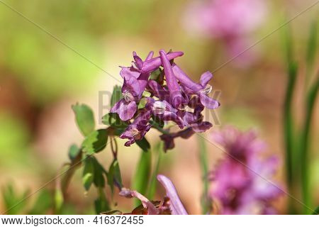 Hollowroot Or Holewort Plant With Purple Flowers, Corydalis Cava