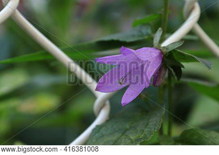 Macro Of The Purple Creeping Bellflower Blossom