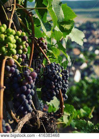 Purple Ripe Wine Grapes Fruit Branch Vineyard In Stein Am Rhein Town City At The Rhine River In Scha