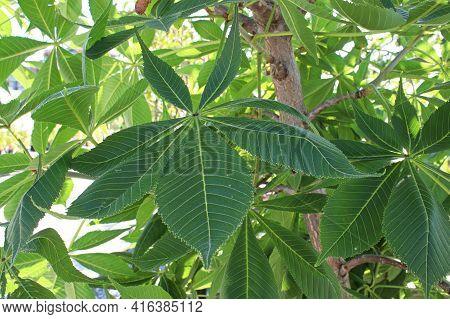 Closeup Of The Leaves On A Ohio Buckeye Tree