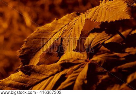 Beautiful Autumn Background From Fall Oak Leaves. Bright Oak Leaves Natural Autumn Texture. Fall Sea