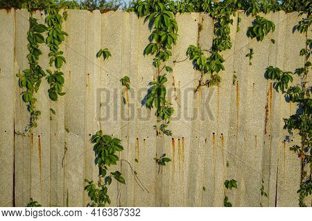 Overgrown Slate Wall And Leaves For Backgrounds. Green Plant Overgrown On Old Wall Background. Virgi