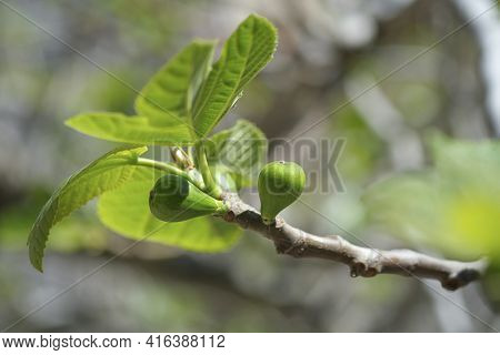 Isolated Delicious Green Italian Figs Plant Leaves Branch, Fico Bianco Of Cilento, Healthy Fruit Ing