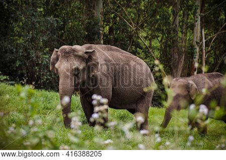 Elephant Family In Periyar National Park Walking Near The Forest India, Munnar
