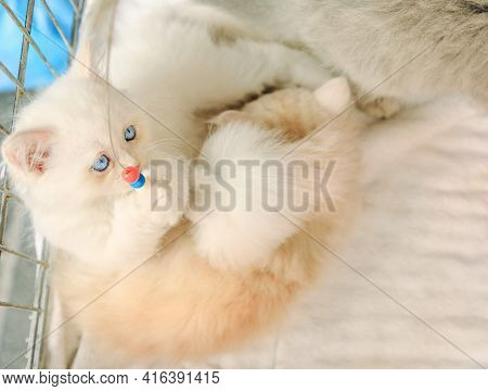 Two Kittens Of Turkish Angora Playing Close With Pet Toy. Fashion Kitty Cat With Pedigree And Blue E