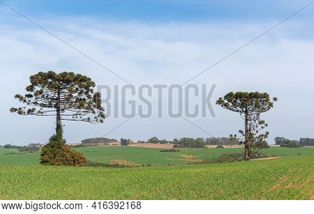 Araucaria Angustifolia Trees Isolated In Pasture Field.