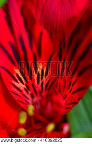 Close Up Striped Red Alstroemeria Flower Petals With Black Spots, Love Bouquet Macro, Botany Floral