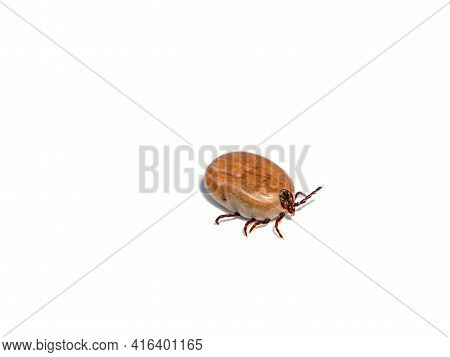 Insect Bloodsucker Mite On A White Background. Tick Beetle. Tick-borne Encephalitis. Insects Are Blo