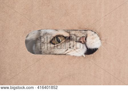 Portrait Of A Cat's Face Biting Through A Cardboard Box Through A Crack.  Cat Playing With A Cardboa