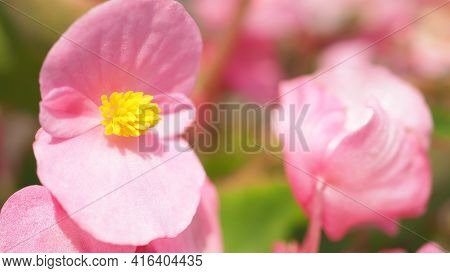 Begonia Flowers And Blue Sky In Hokkaido Furano Province Of Japan.