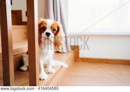 Cavalier King Charles Spaniel - A Breed Of Companion Dogs On The Step Of Stairs