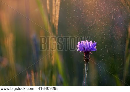 Cornflower, A Common Flower Growing In My Garden, Smells Nice And Looks