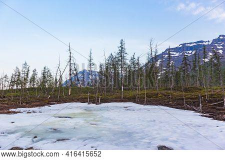 Snow And Fir Trees. Polar Day On Putorana Plateau, Taimyr, Russia