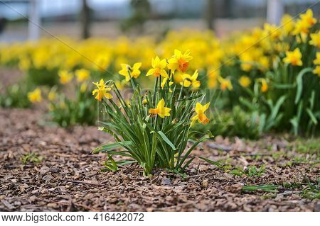 Beautiful Low Ground View Of Bunch Of Spring Yellow Daffodil (narcissus) Flowers Growing In Ground M