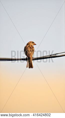 Sparrow Bird Sitting On Wire. The Lone Sparrow Sits On A Wire In The White Sky With Sunlight Nature