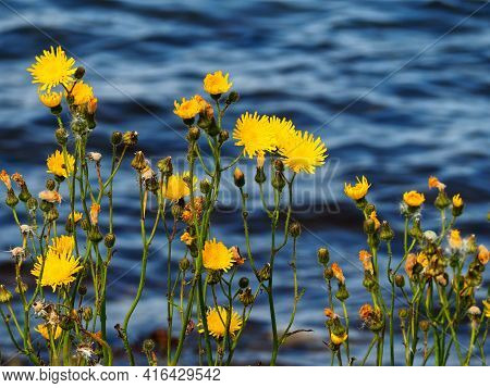 Beautiful Yellow Wild Flowers With The Sea Ocean In The Background And Space For Text And Graphics