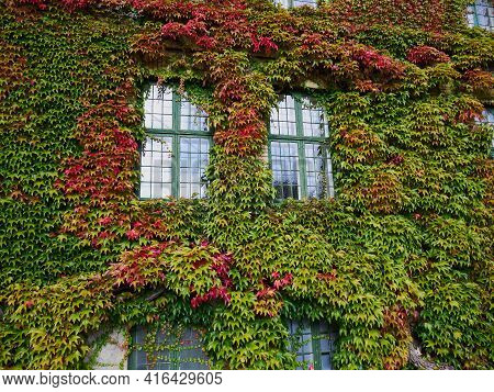 Leaves Of Green Ivy Covering A Wall Of A Public Building House Funen Fyn Denmark