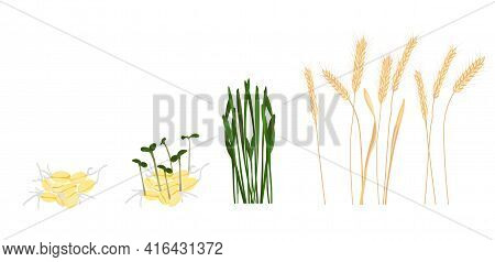 Wheat Growth Stage Vector Stock Illustration. Cycle Of Growth Of A Wheat Plant. Isolated On A White