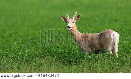 White Albino Fallow Deer, Dama Dama, Grazing On The Clover Meadow With Open Mouth