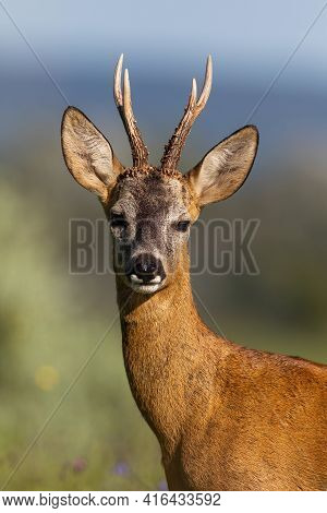 Detail Of Roe Deer Buck Looking To The Camera In Summer Nature