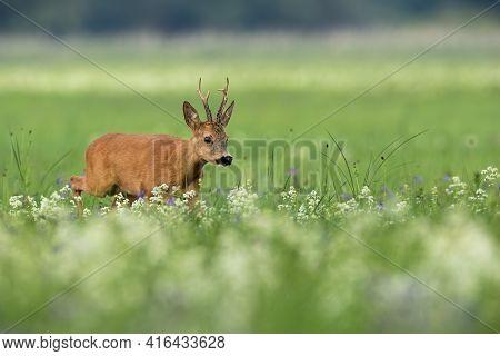 Roe Deer Buck Sneaking On Blooming Meadow In Summer Nature
