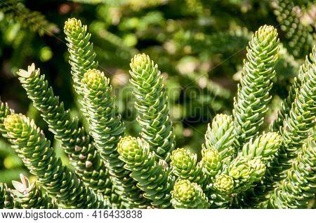 Araucaria Tree Close Up. Beautiful Green Nature Background.