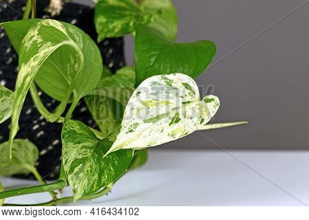 Close Up Of Very White Leaf Of Tropical Houseplant With Botanic Name 'epipremnum Aureum Marble Queen